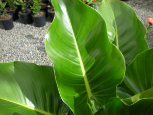 Philodendron Congo leaf