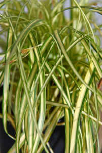 Carex everoro